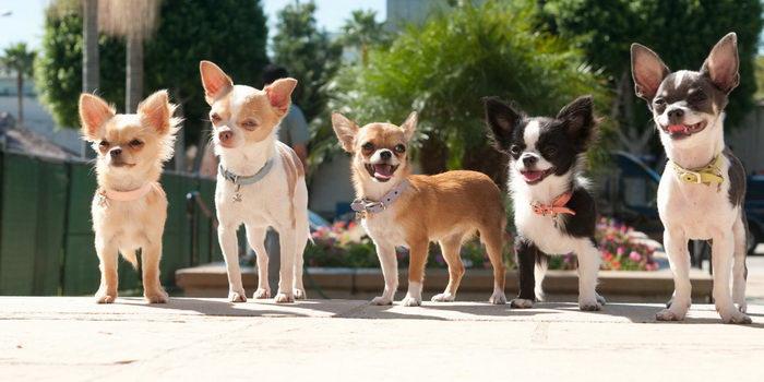 Собачки из кино Крошка из Беверли-Хиллз
