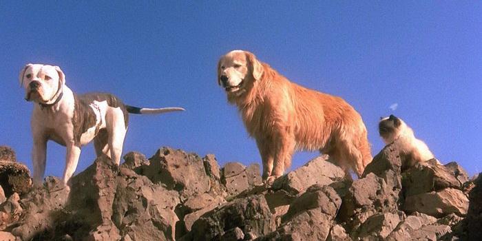 Животные из фильма Дорога домой: Невероятное путешествие